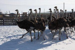 Профсоюзная организация приглашает на страусиную ферму